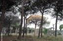 Caient en l'espiral fatal: decaïment dels boscos del pi pinyer i atacs del seu depredador, Tomicus destruens