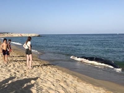 Les restes del catxalot van arribar a la platja del Varador a primera hora de la tarda. Foto: Ajuntament